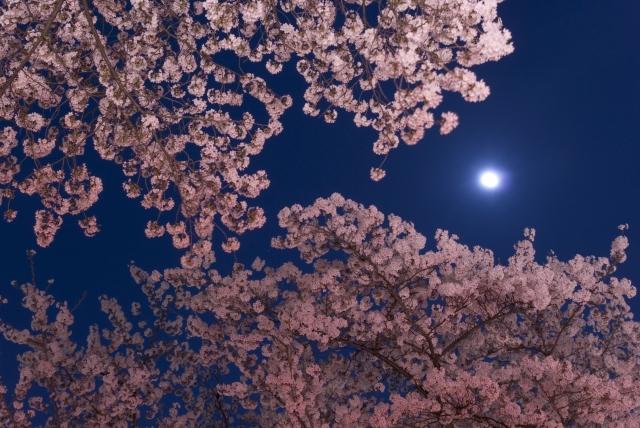 造幣局の夜桜
